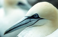 Gannet. Portrait stock photos