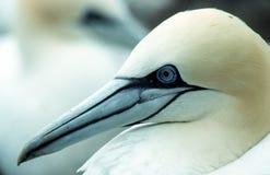 gannet arkivfoton