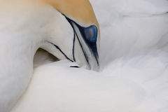 Gannet. A closeup of a female gannet cleaning itself Royalty Free Stock Photography