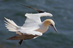 gannet στοκ εικόνα