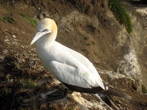 Gannet. This gannet belongs to a gannet colony in Muriwai, New Zealand, only a few miles West of Auckland city Stock Image