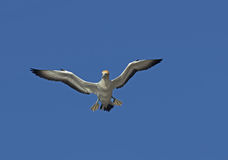 Gannet Royalty Free Stock Photo