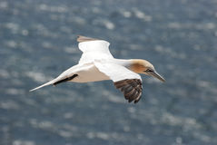 Gannet. A gannet about the cliffs of Helgoland Royalty Free Stock Photography