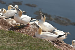 Gannet. Two gannets on the cliffs of Helgoland rn Royalty Free Stock Images