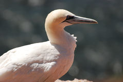 Gannet. A gannet in the flight before the cliffs of Helgoland rn Stock Images