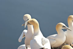 Gannet. Two gannets on the cliffs of Helgoland Stock Images