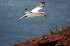Gannet. Two gannets on the cliffs of Helgoland Royalty Free Stock Images