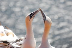 Gannet. Two gannets on the cliffs of Helgoland Stock Photos