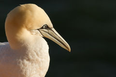 A gannet. Close-up of a gannet in Helgoland Royalty Free Stock Photography