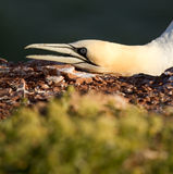 A gannet Stock Images