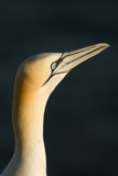 A gannet. Close-up of a gannet in Helgoland Stock Photography