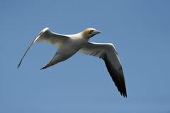 gannet Стоковое Изображение RF