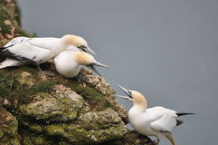 Gannet Royalty Free Stock Photos