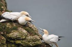 gannet zdjęcia royalty free