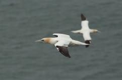 Gannet. Стоковое Фото