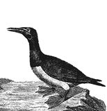 gannet ilustracji