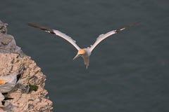 gannet Imágenes de archivo libres de regalías