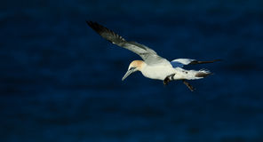 gannet Imagens de Stock Royalty Free