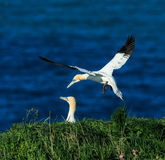 gannet Fotos de Stock Royalty Free