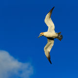 gannet Fotografia de Stock