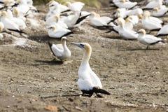 gannet Стоковое Изображение