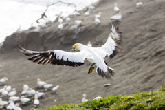 gannet Стоковое фото RF
