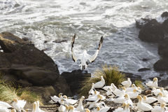 gannet Стоковые Изображения
