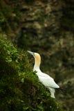 gannet stockfoto