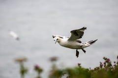 gannet Arkivfoto