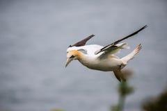gannet stockfotos