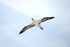 gannet Zdjęcie Royalty Free