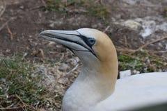 gannet Стоковые Фото