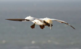 A gannet above the sea. In Helgoland Stock Photo