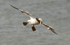 A gannet above the sea. In Helgoland Royalty Free Stock Photos
