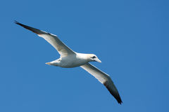 Gannet in the air Royalty Free Stock Images