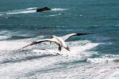Gannet altísimo Fotos de archivo