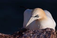 Gannet auf einem Nest stockbilder