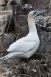 Gannet on Bass Rock 37642988 Royalty Free Stock Photos