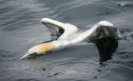 Gannet Royalty Free Stock Images