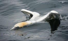 Gannet. Bass rock Dunbar Scotland Royalty Free Stock Images
