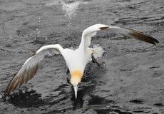 Gannet. Bass rock Dunbar Scotland Royalty Free Stock Photo