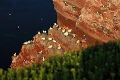 Βόρειο gannet, bassana Sula, αποικία των πουλιών θάλασσας, να τοποθετηθεί χρόνος στο κόστος απότομων βράχων, με το σκούρο μπλε θα Στοκ Εικόνα