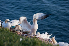 Gannet (bassanus de Morus) Photo stock