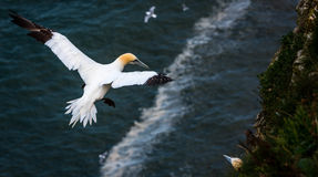 A gannet  at bempton Cliffs, Yorkshire , UK Royalty Free Stock Images