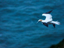 A gannet  at bempton Cliffs, Yorkshire , UK Royalty Free Stock Photos