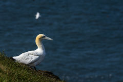 A Gannet at bempton Cliffs, Yorkshire , UK Royalty Free Stock Photography