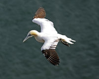 Gannet bird Royalty Free Stock Image