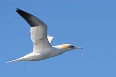 Gannet Bird Flying in Flight. Northern gannet (morus bassanus) in flight against blue sky Royalty Free Stock Image