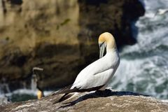Gannet in Birds island Stock Image
