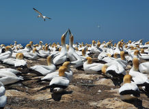 Gannet birds Royalty Free Stock Images